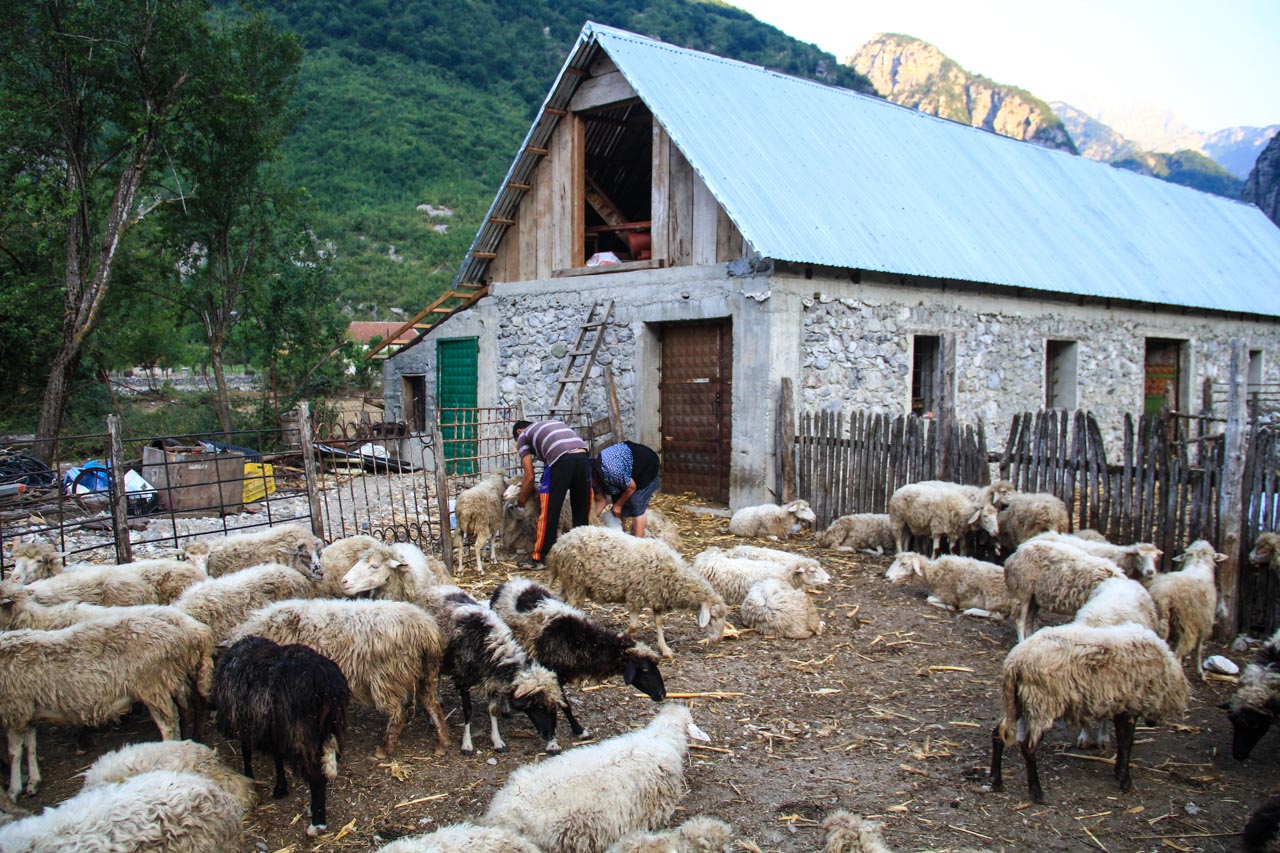 Deda and his mother milking their sheep (around 100)