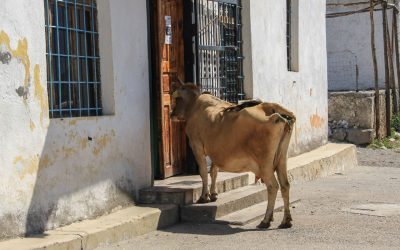 A cow peeking into Vukel's small shop