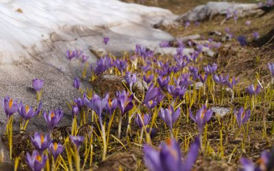 Colourful flowers grow where the snow is melting