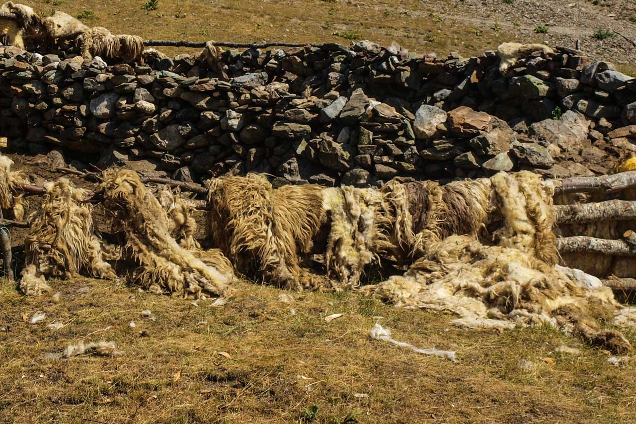 Sheep skin drying in the sun